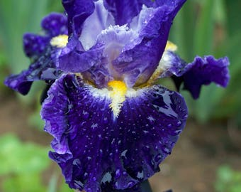 FROM WITHIN - 2013 Bordered Bearded Iris - Fragrant garden standout
