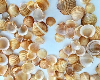 100 shells Beach Corsica, seaside decoration, product of sea shells, beach decor