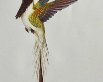 Antique engraving print 1960's birds of paradise horned Hummingbird