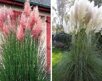 Cortaderia selloana-Pampas grass-Pink (50 SEEDS) or White (100 SEEDS)
