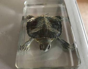 Real red eared slider in resin sale