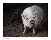 Pig, barnyard animals, art print, wall art, pet pig, animals, pig farmer, dog, USDA, smiling pig, wall art, Art for home, home decor
