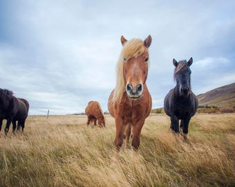 Desktop Wallpapers:  Icelandic horses