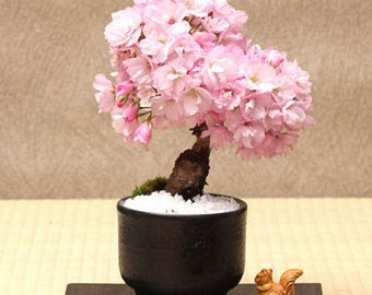 20 Pcs Cherry Bonsai Tree Japanese New Blossoms Sakura Seeds Flower Seeds