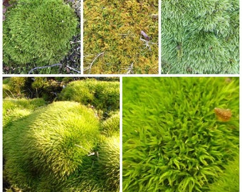 Live Moss 3 gallon sample pack, best value on Etsy, , Wedding decor, FREE SHIP USA, world wide shipping 30% off winter sale