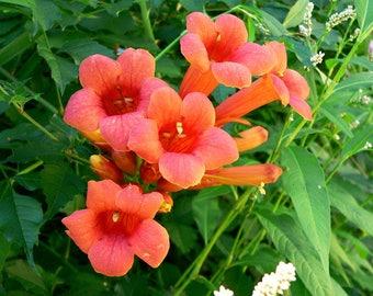 Trumpet Creeper   Trumpet Vine   Campsis radicans   50 Fresh Seeds