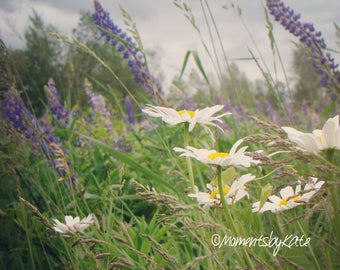 Lupins & Daisies Blowing in the Wind