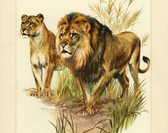 Vintage lithograph of a lion couple from 1956