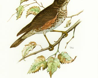 Vintage lithograph of the redwing or red-winged thrush from 1956