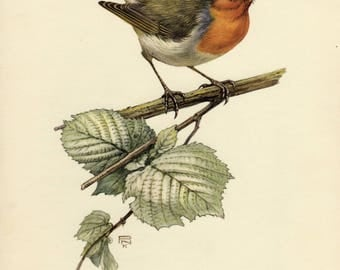 Vintage lithograph of the European robin from 1953