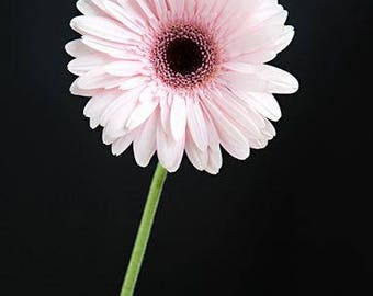 Pink Daisy Wall Art, Daisy Photography, Picture Of Daisies, Gerbera Daisy Print, Bunch Daisies Picture, Flower Print, Pink Home Wall Art
