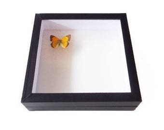 Insect box - 30x30cm black - to store your butterflies and insects.