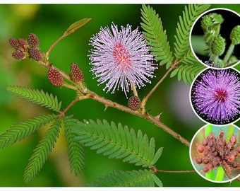 Sensitive Plant 25/50/100/200/500/1,000 Seeds ~ Mimosa pudica~ Leaves that move! Shy plant