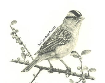 Fine Print of an original drawing of a sparrow.