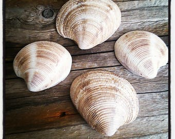 set of 4 shells clams for your creations