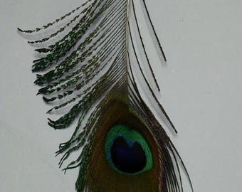 A beautiful green Peacock feather is 13cm turquoise reflection