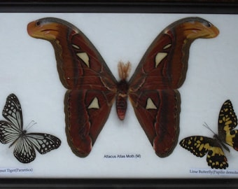 REAL BUTTERFLIES MOTH(M) Taxdermy Frame/ BF03I