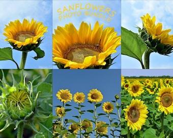 Sunflowers Photo Bundle Floral photo set Yellow flowers Styled Stock Photography Sunflowers Stock photo Sunflowers set