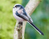 Long-Tailed Tit Blank Gre...
