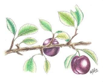'Purple plum', watercolour on canson paper