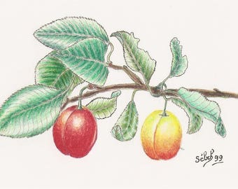 'Yellow orange plum', watercolour on canson paper