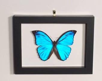 Gorgeous Blue (Morpho didius) Butterfly Framed