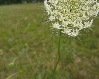 A little wild & free like Queen Anne's Lace, digital photo download