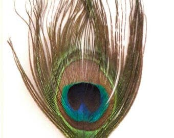 1 feather natural Peacock shimmering colors + - 13 x 6.5 cm