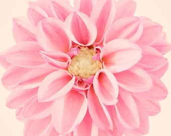 Pink Flower Wall Art, Dahlia Flower Photography Print, Floral Wall Art, Large Art Print, Minimalist, Nature Photography