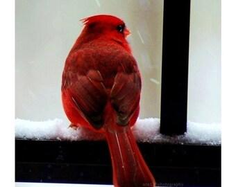 40% OFF SALE Christmas Cardinal Holiday Decor Photography Red Black Winter Decoration Cardinal 5x5 Inch Fine Art Photography Print Cardinal