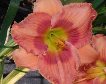 Daylily Plant - Circular Reasoning (S-513.3)