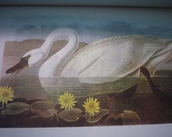 Whistling Swan and Canadian Geese - Audubon Color Plate - for birders - nature lovers 8.25 by 5 inch Two sided white border ready to frame