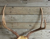 Small Set of Taxidermy Quality Mule Deer Antlers - Lot No. 180326-A