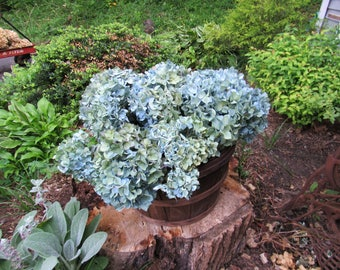 12 Green blue dried hydrangea flowers wedding z