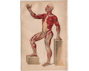 c. 1884 HUMAN ANATOMY PRINT - muscular system -  muscle tissue - antique medical print - physiology medical illustration