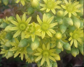 """Aeonium """"Jolly Green,""""easy to grow succulent,drought tolerant plant,housewarming gift,summer gifting idea,July trends,home and garden,sunny"""