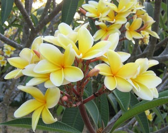 Plumeria Cutting - Frangipani - Apocynaceae - Fragrant Flowering Tropical Plant