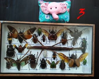 3D Real Big Insect Insects Bugs Box Framed Frame Display Stick Bug Tarantura Spider Beetle Cicada Scorpion Entomology Taxidermy Box Set Rare