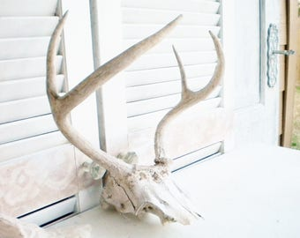 Vintage Deer Antlers/Real Deer Antlers And Skull /Large Antlers/Farmhouse/Man Cave/Sun Bleached Rustic/Shabby Chic/4 Point