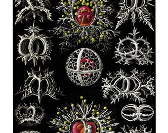Ernst Haeckel's Vintage Artwork Stephoidea