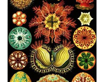 Ernst Haeckel's Vintage Artwork Ascidiacea