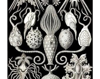 Ernst Haeckel's Vintage Artwork Amphoridea