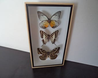 Taxidermy 3 Real Mounted Butterflies Shadow Box Display Lepidoptera Entomology Zoology Free Shipping !!