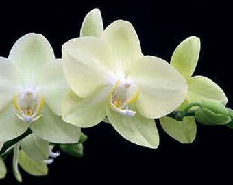 Orchid seeds, phalaeonopsis white orchid, white orchids, code 514,orchid collection, gardening, flower seeds