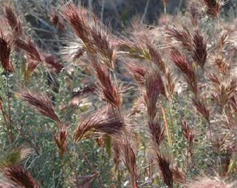 Pink muhly ornamental grass seedsknown as hairawn muhly grass for Fast growing ornamental grass