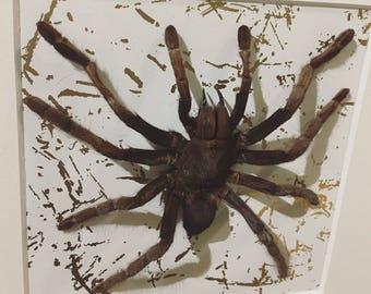 Framed Large Tarantula