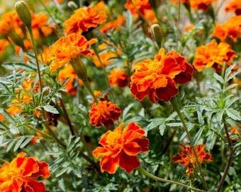 French Marigold Plant,  Yellow, Orange Flowers, Annual Gardening Flowers, A Perfect Housewarming Gift
