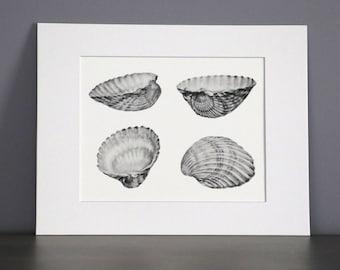 Bivalve Shell study, Botanical Art Print
