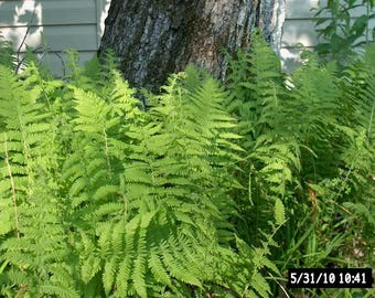 8 Woodland Fern ~Small/mini-border~ Sun or Shade ~ground cover~ WOODLAND GARDEN