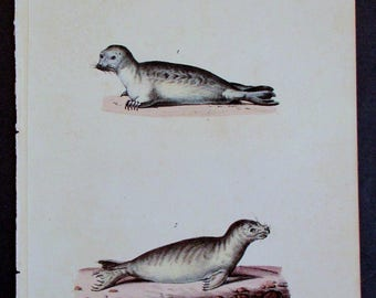 1833 Common Seal Varieties. Buffon Antique Handcolored Lithograph. Original Natural History Over 200 years